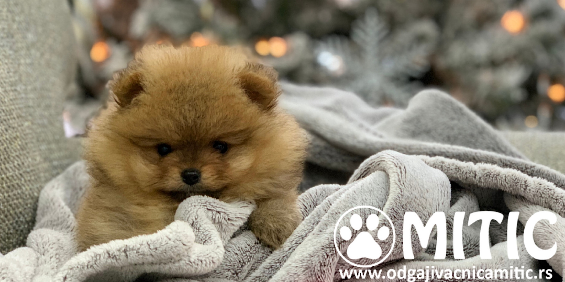 POMERANAC BOO PET KVALITET JOHNNY 1000E